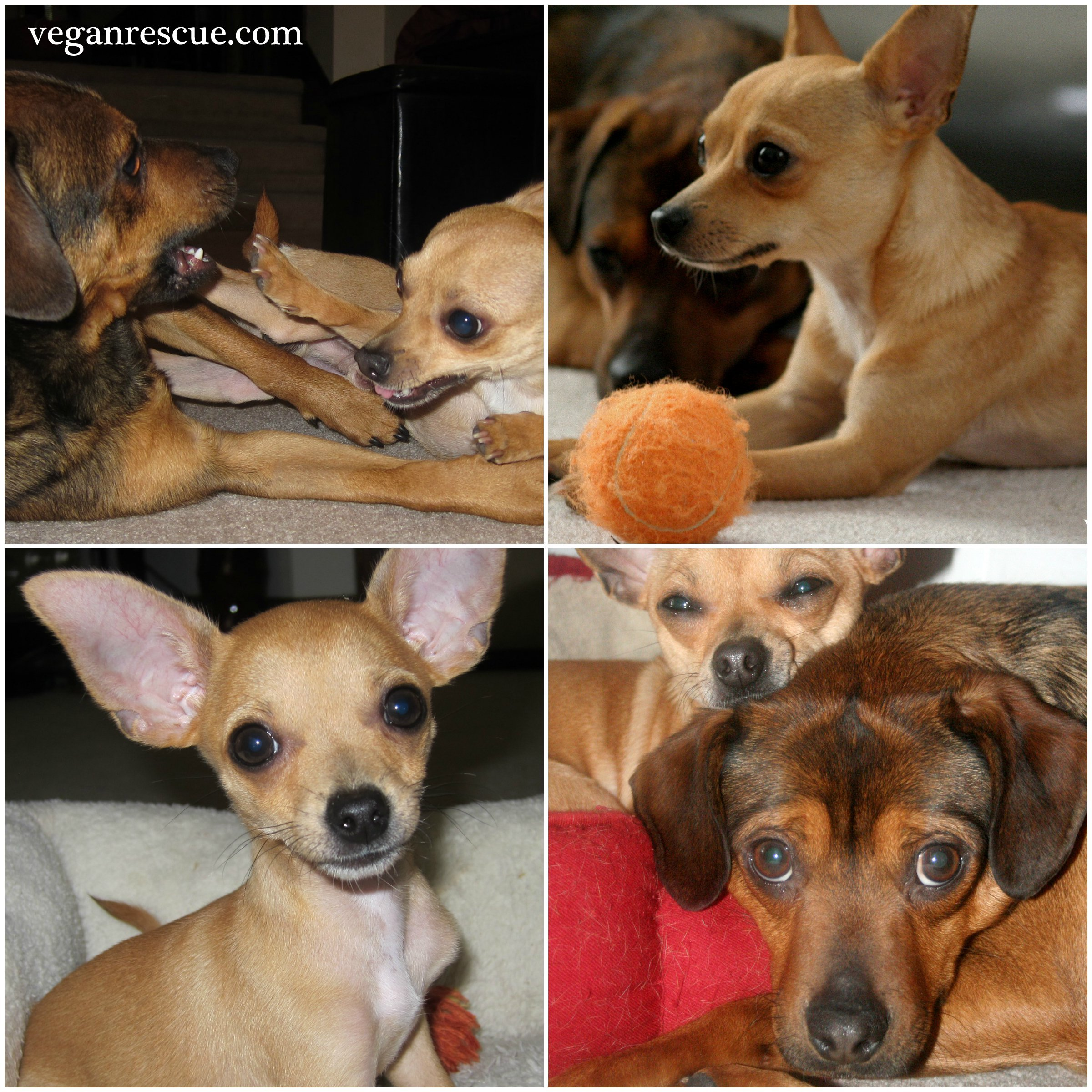 Pleasing Happy Birthday To Beanie Doggie Birthday Cake Vegan Rescue Funny Birthday Cards Online Unhofree Goldxyz